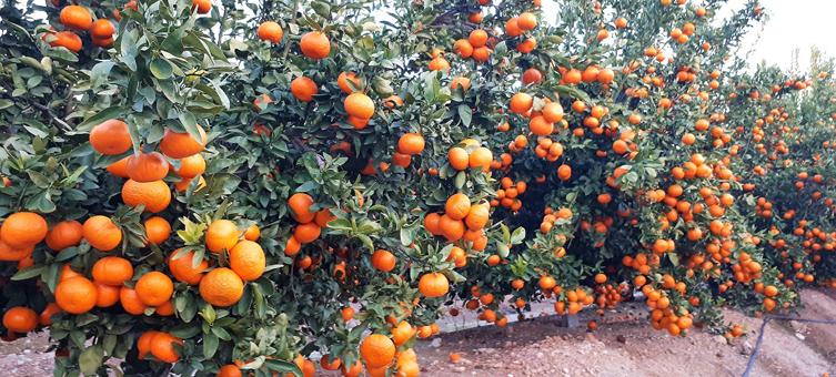Inician la campaña de regularización voluntaria y venta de nuevas licencias de la mandarina «Spring Sunshine»